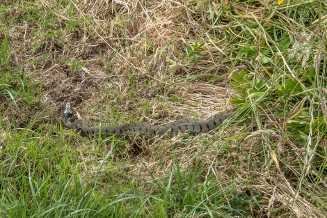 A grass snake, the first snake I've ever seen in the UK