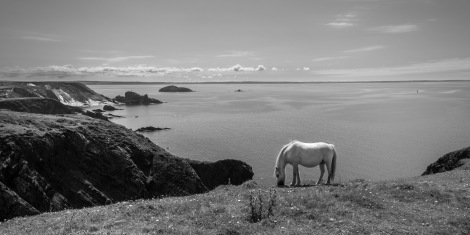 Ponies grazing on the Pembrokeshire Coast Path