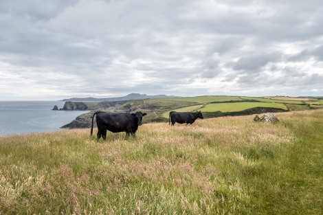 Cows and coastal views on the Pembrokeshire Coast Path