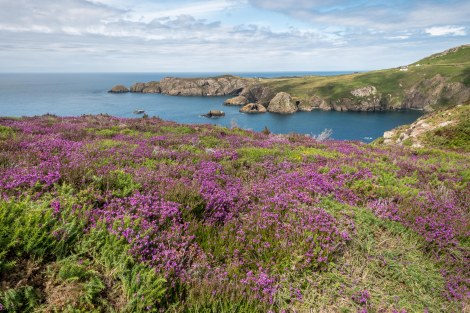 Heather and coastal views on the Pembrokeshire Coast Path