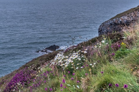 Wildflowers on the Pembrokeshire Coast Path