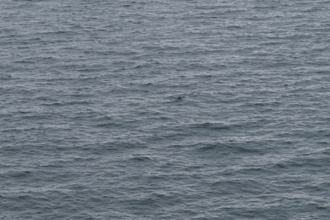 Porpoise on the Pembrokeshire Coast Path