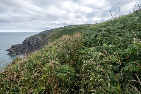 This bit's a little overgrown on the Pembrokeshire Coast Path