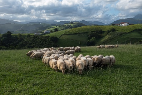 Basque country sheep and hill views
