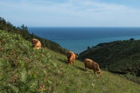 Cows and coastline