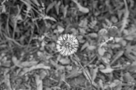 Dandelion on the Camino del Norte
