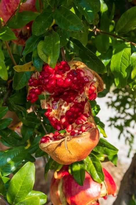 Pomegranates everywhere