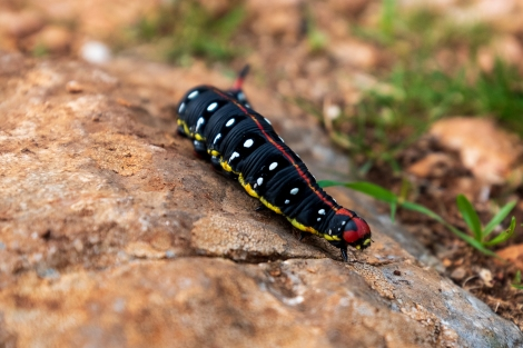 A colourful caterpillar - anyone know what it is?