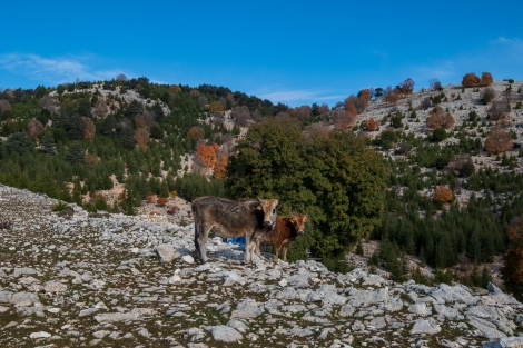 First time to see cows on the Lycian Way