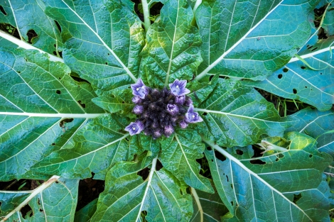 Mediterranean Mandrake (Mandragora officinarum)