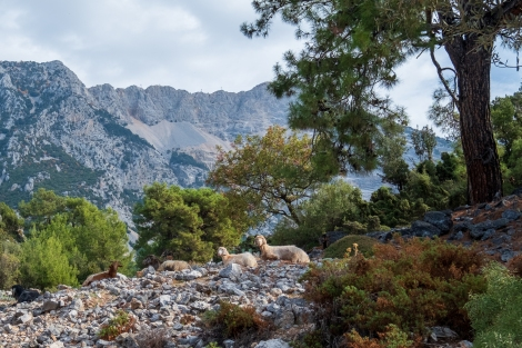 Goats on the Lycian Way